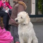dogshow064