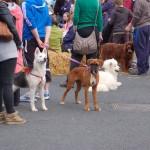 dogshow076