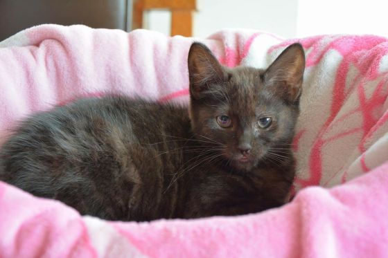 Pride - Kitten for Adoption