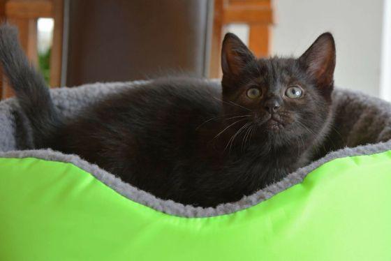 Robin - Kitten for Adoption