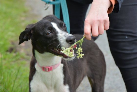 Katie - Lurcher Cross for Adoption