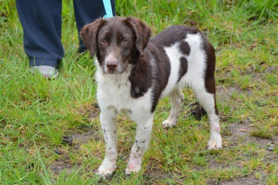 Parker - Springer Cross for Adoption